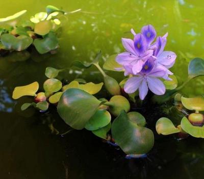 点缀湖面水葫芦开花高清图片下载